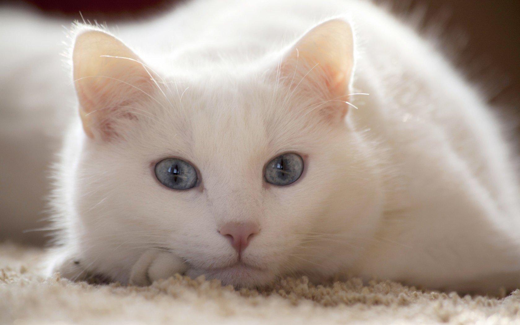 Белый кот в доме