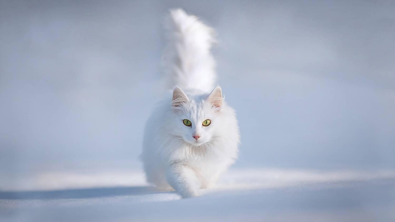 Белый кот встретился на улице примета что значит