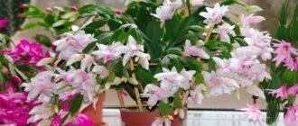 декабрист цветок приметы