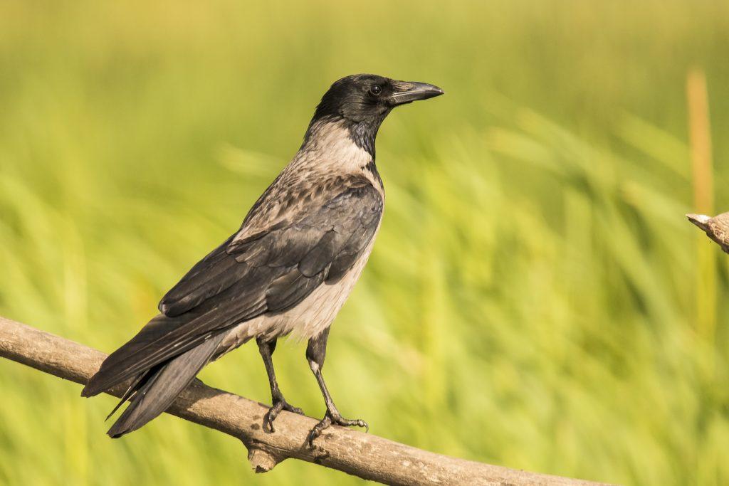 если ворона села