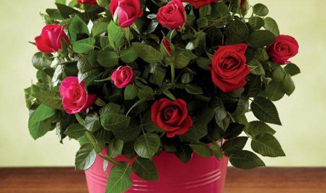 Комнатная роза для любви
