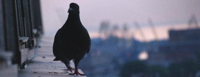Народные приметы голубь сел