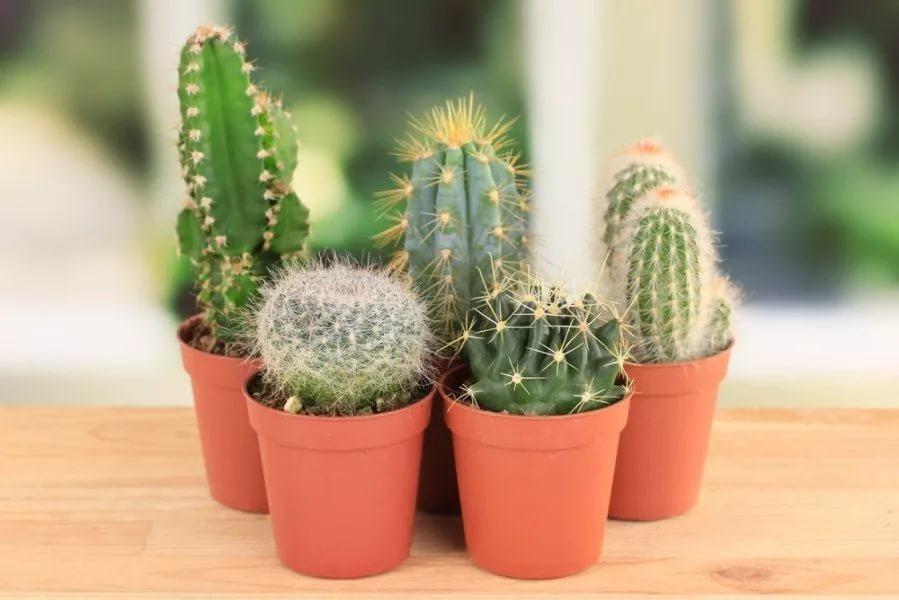 Народные приметы и суеверия о кактусе в доме