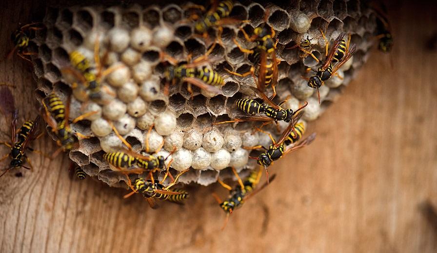 Осиное гнездо в доме - примета и суеверия