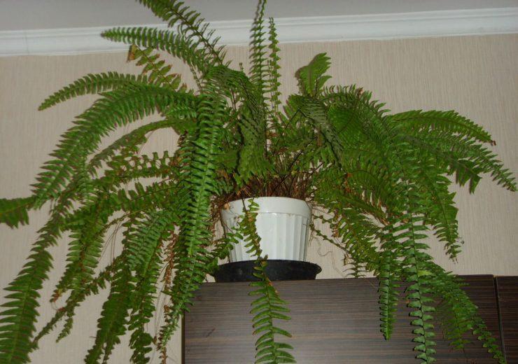 растение папоротник комнатный