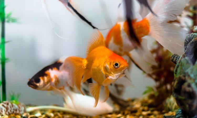 Подготовка к гаданию Золотая рыбка