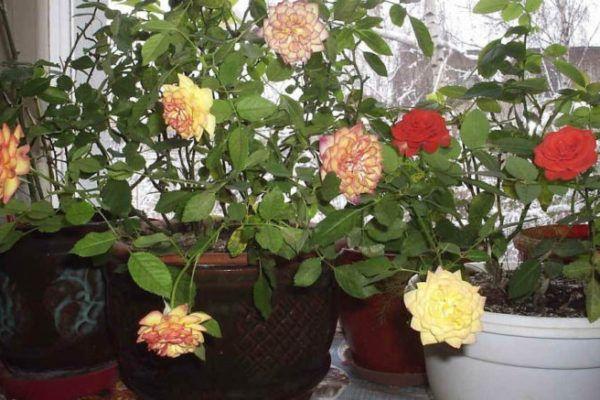 Роза в доме приметы
