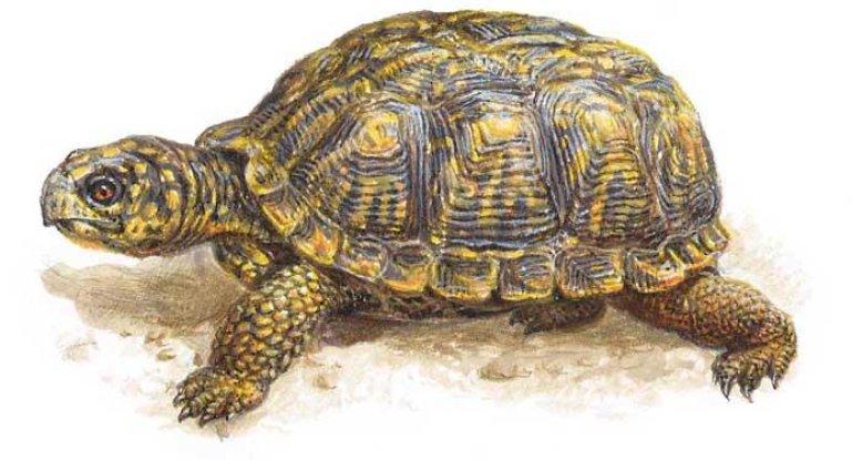 черепаха в доме