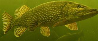 рыба беременной женщине