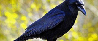 снится ворона