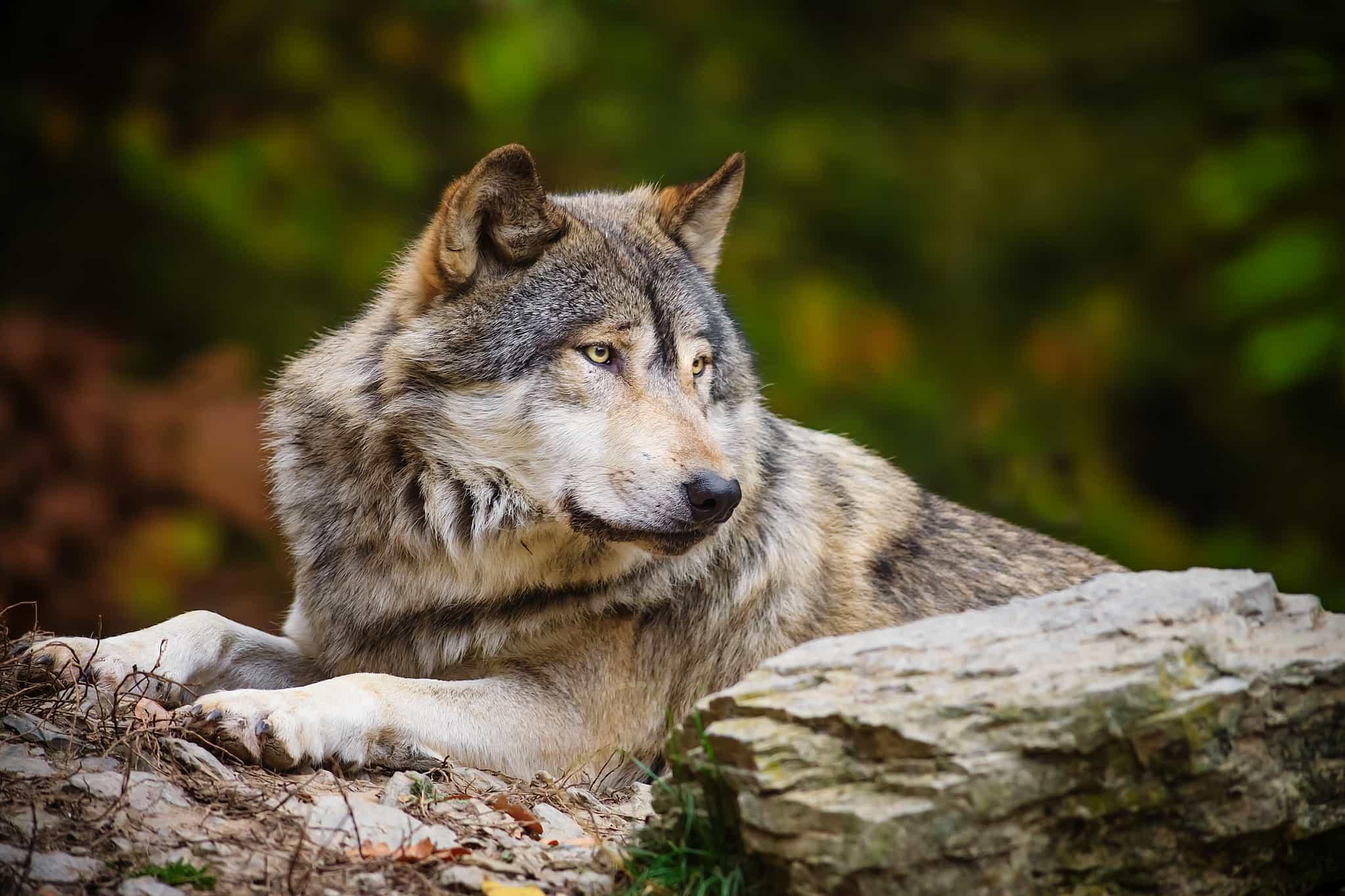 фотографии волков в высоком качестве для своего