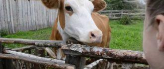 снится белая корова