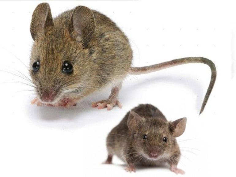 большая мышь