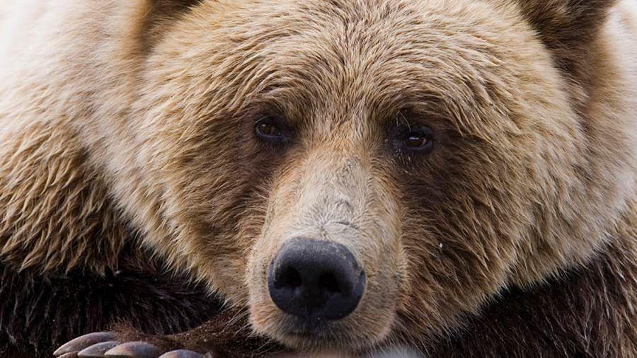 снится бурый медведь