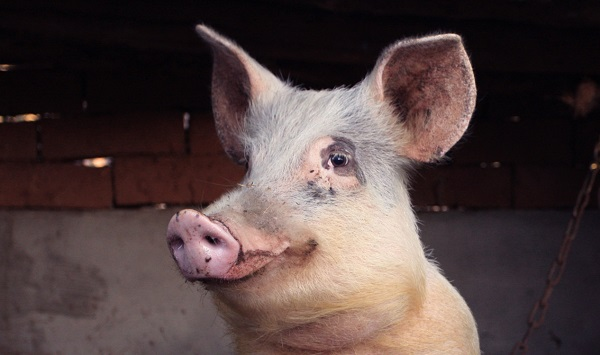 К чему снится голова свиньи