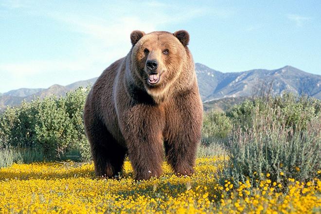Видеть во сне бурого медведя