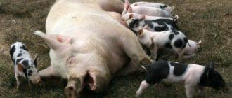 укусила свинья