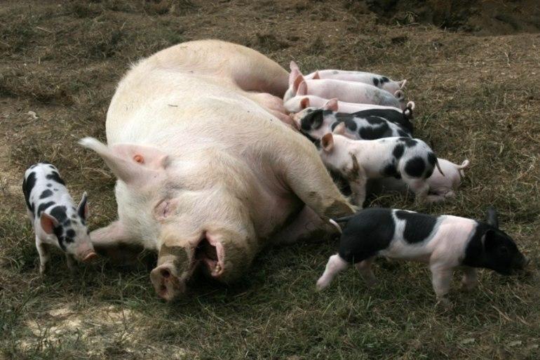 Живая свинья