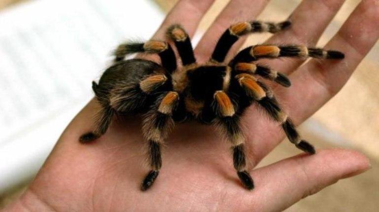 снится тарантул большой