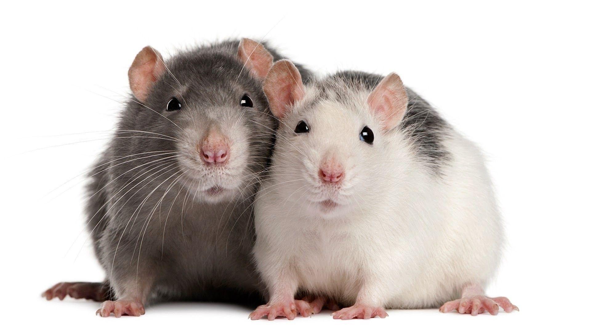снится черная крыса