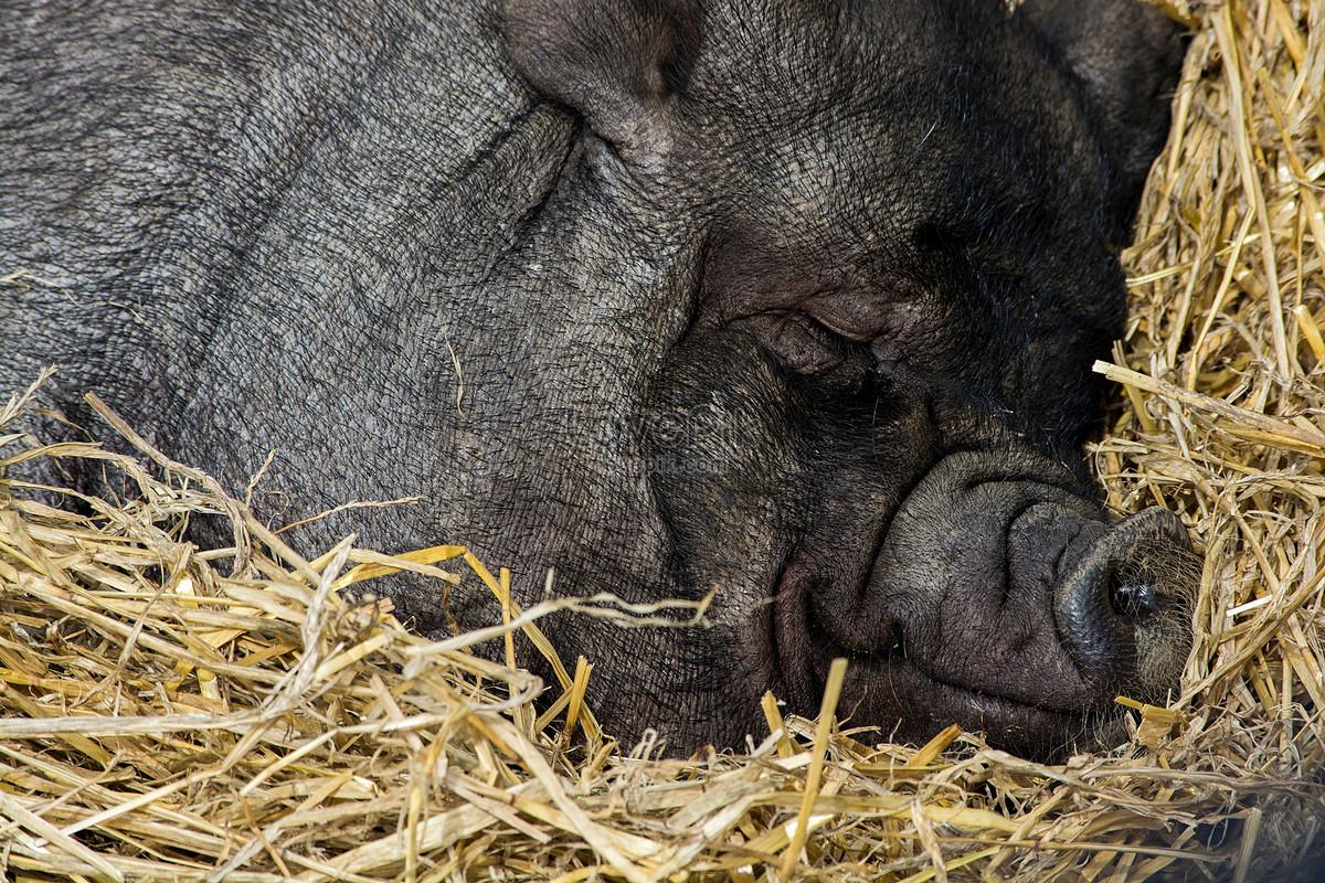 снится черная свинья