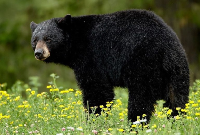 снится черный медведь