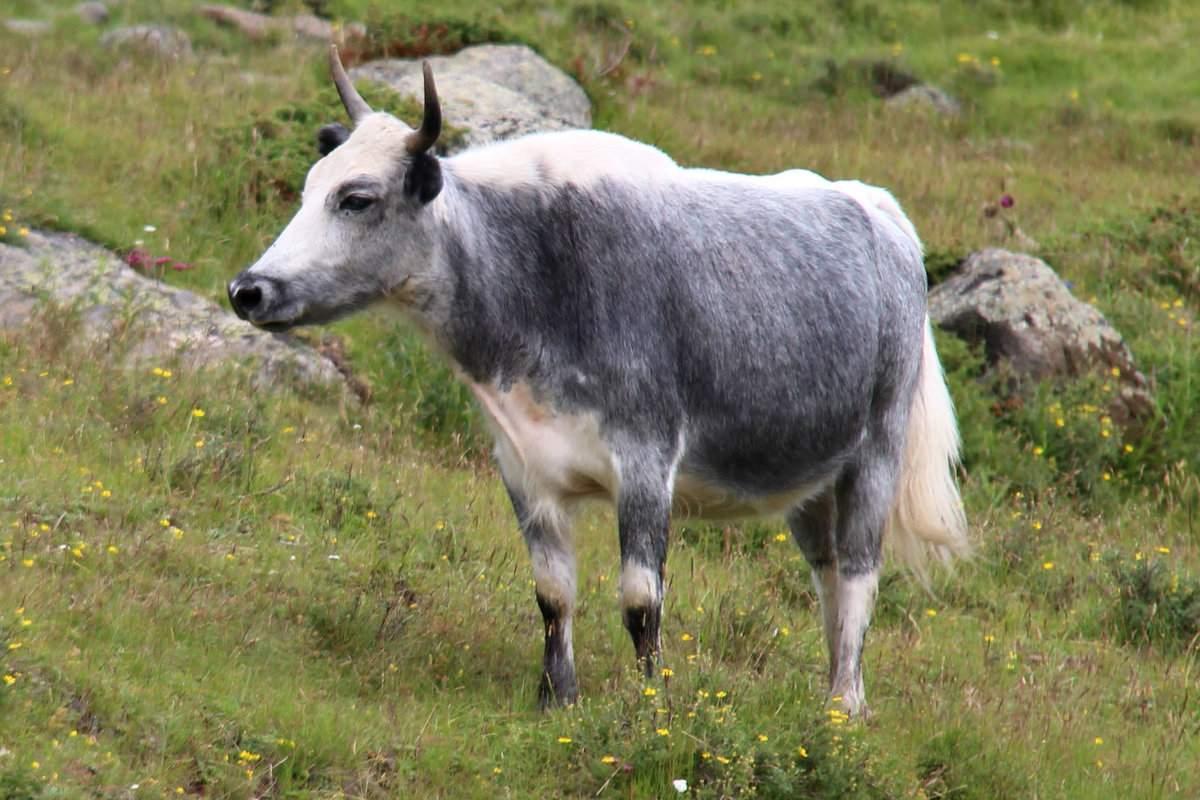 К чему снится мертвая корова