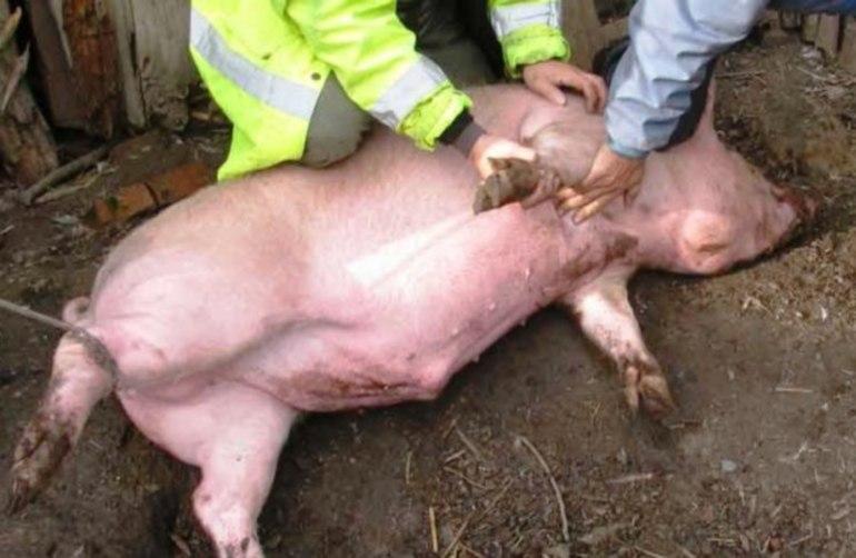 снится резать свинью