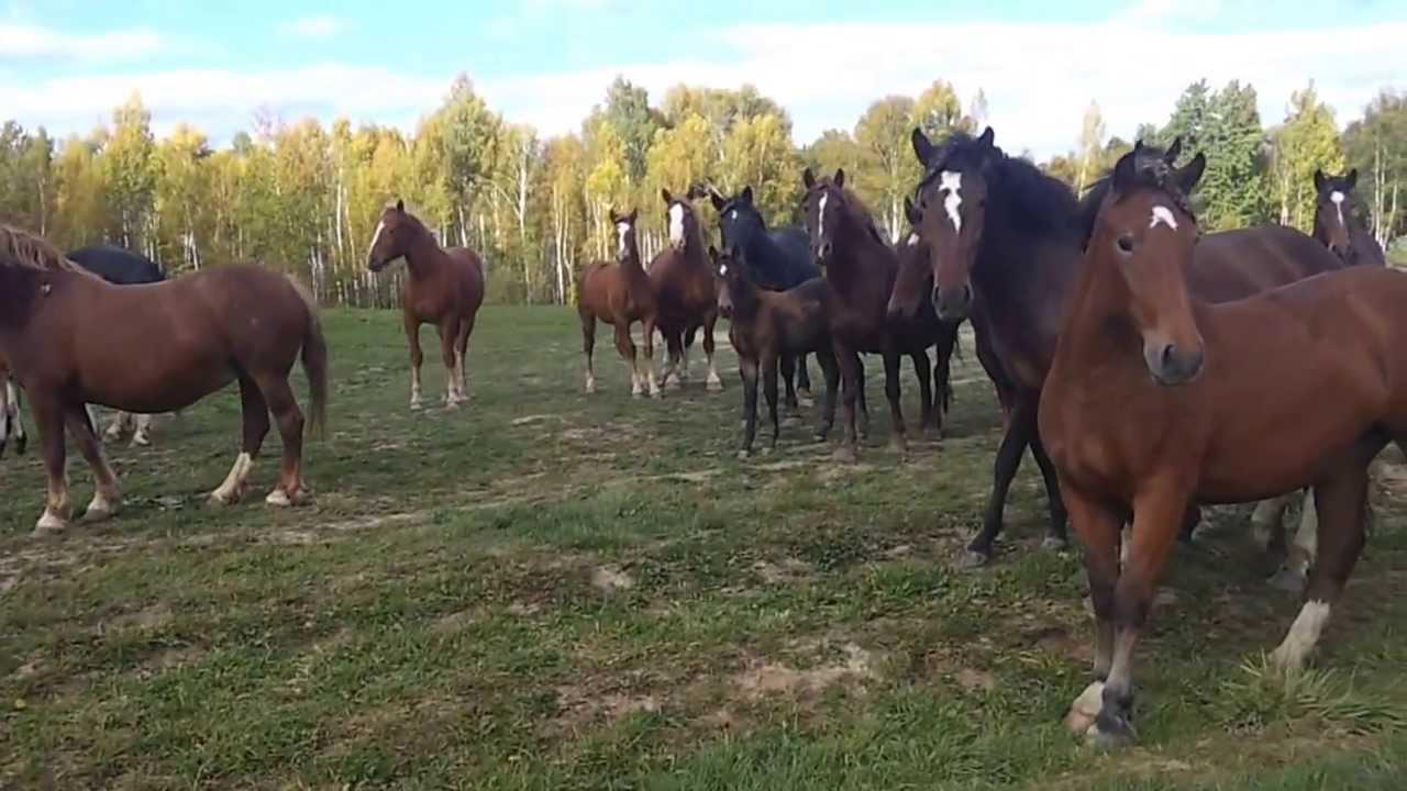 снится табун лошадей