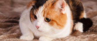 снится трехцветная кошка