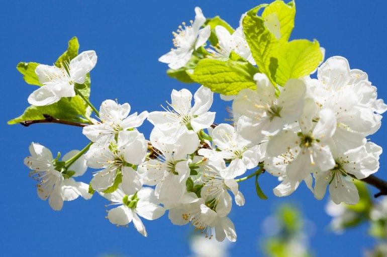 снится цветущая яблоня