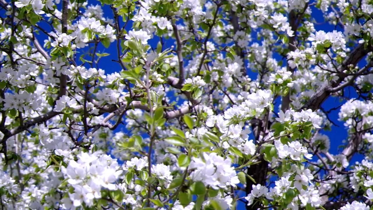 снится яблоневый сад