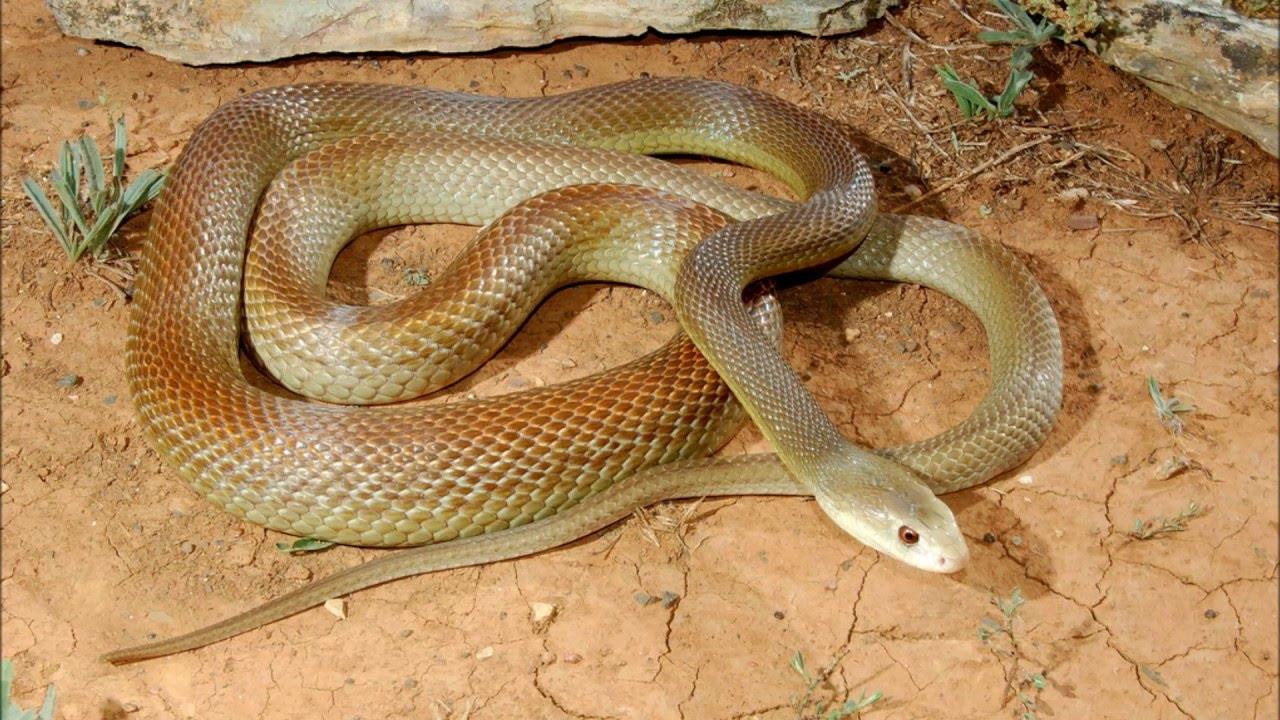 снится ядовитая змея