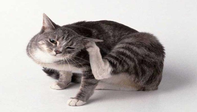 снятся блохи на кошке