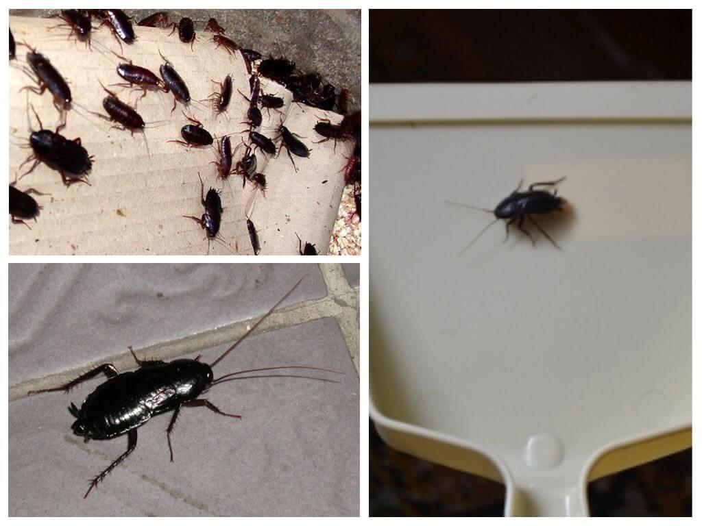 К чему снятся черные тараканы
