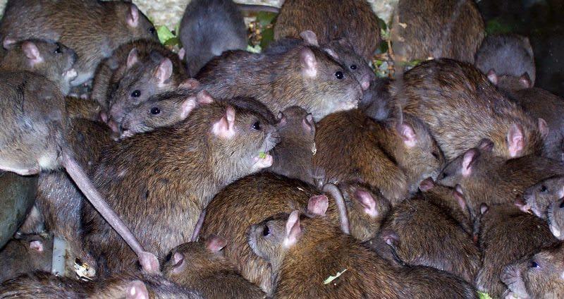 снятся много крыс