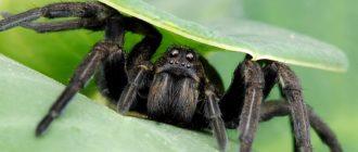 снятся пауки много