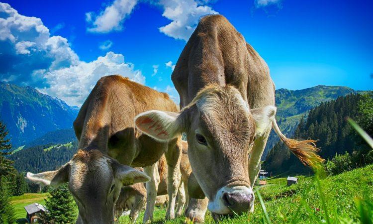 Местонахождение коровы