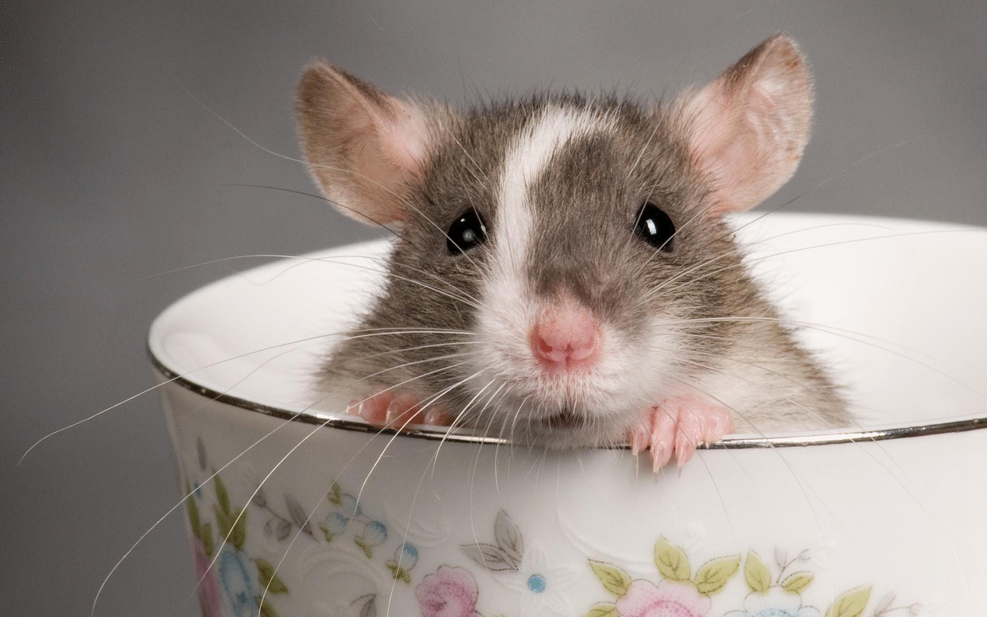 крысу во сне