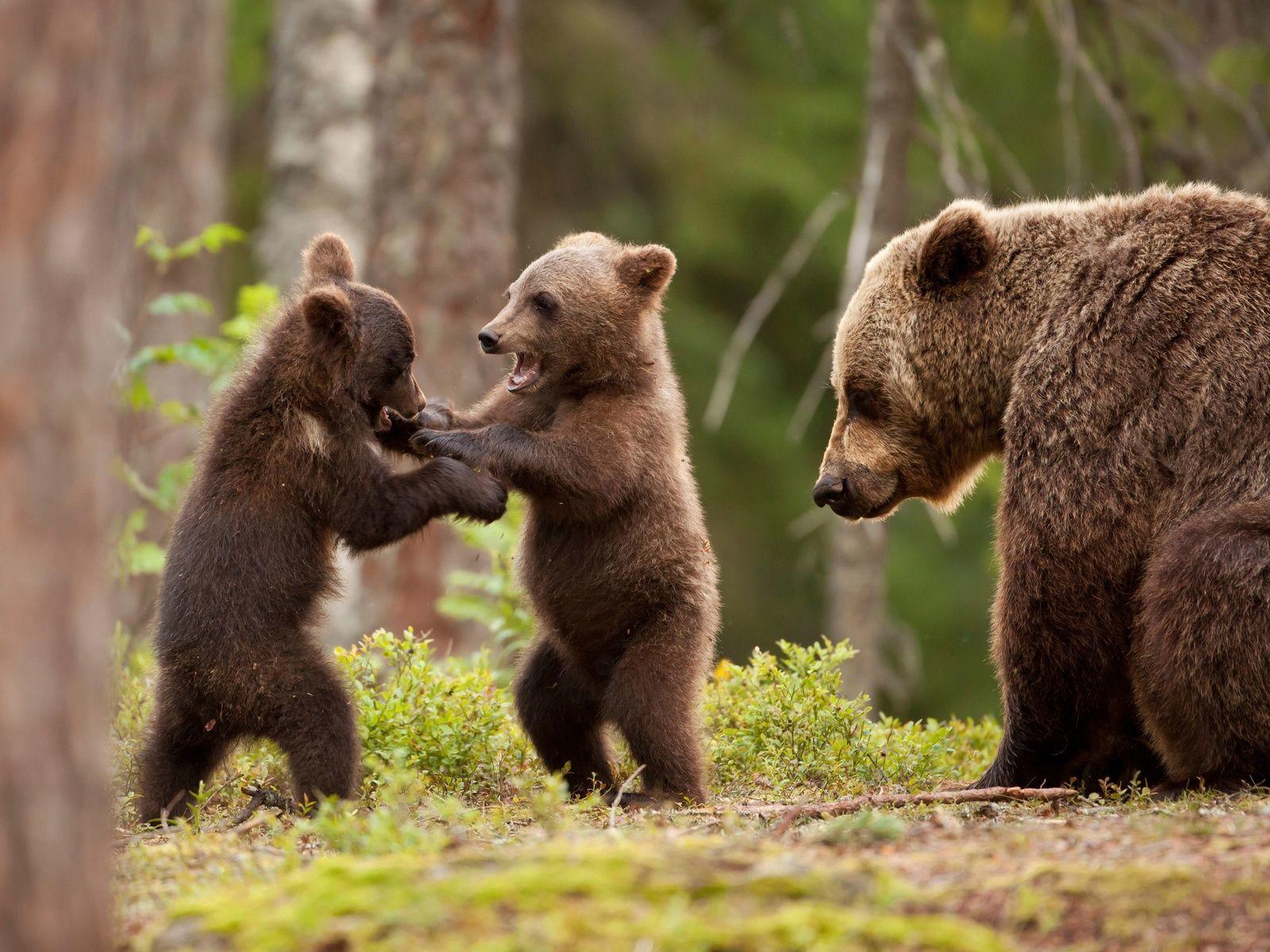 Снятся медведи