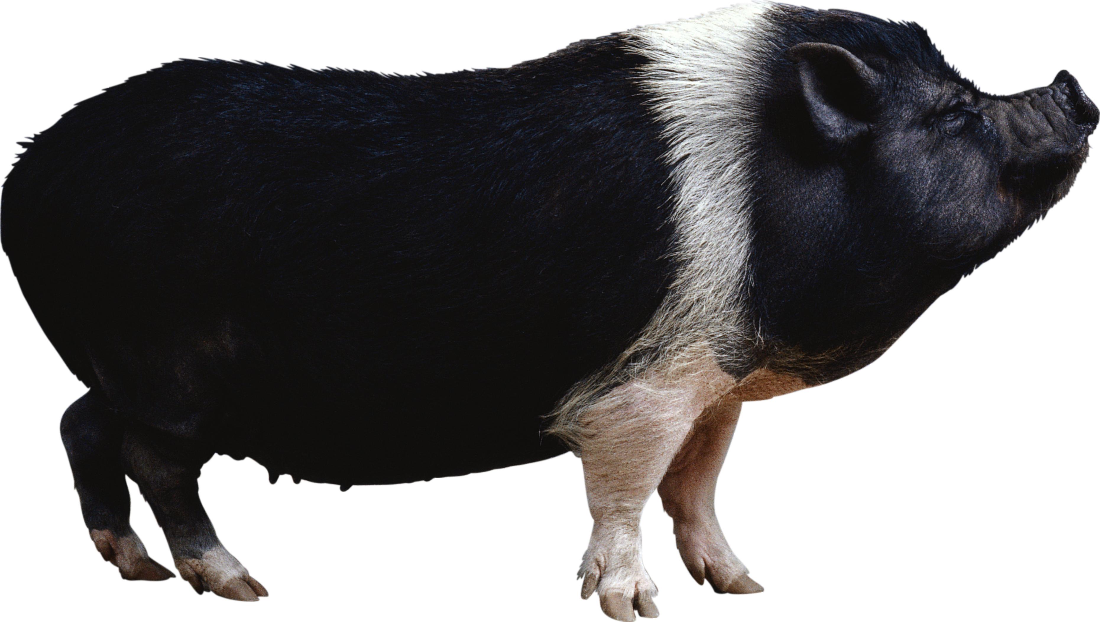 Видеть во сне черную свинью