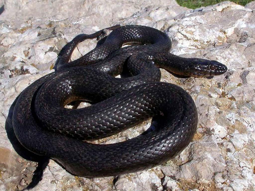 Видеть во сне черную змею значение