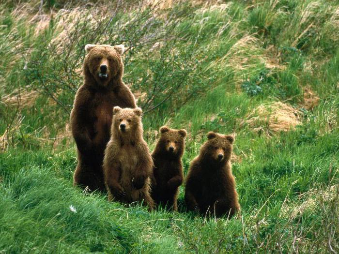 Видеть во сне медведицу с медвежатами значение