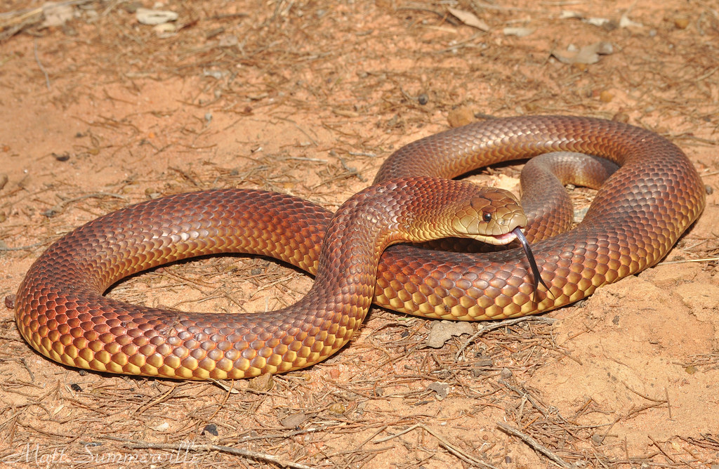 Видеть во сне ядовитую змею
