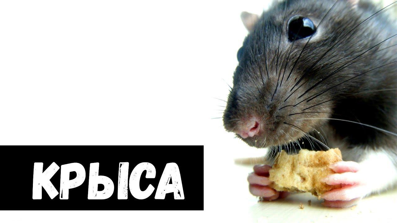 К чему снится крысы