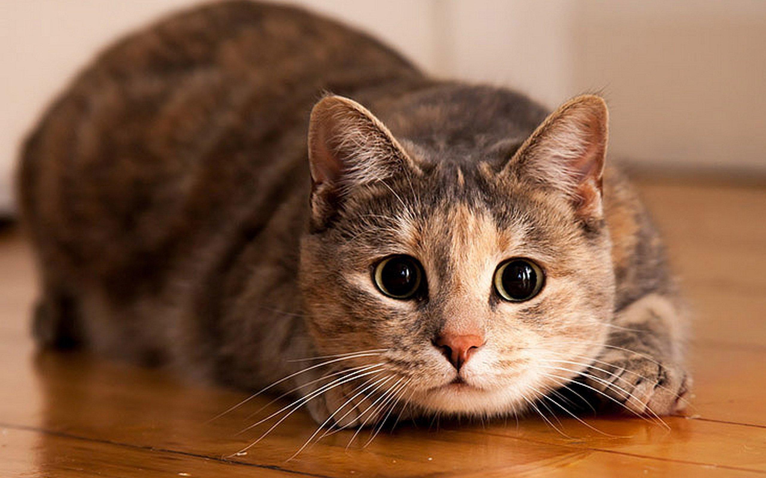 ордена медали можно картинки котов она начинает