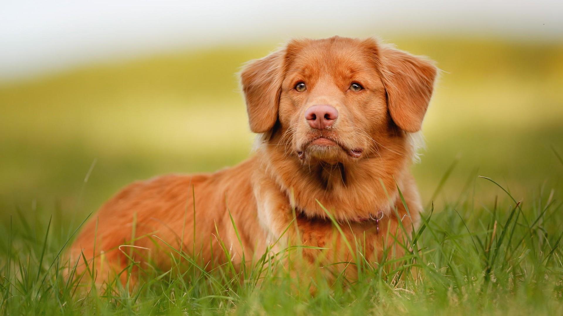 Видеть во сне рыжую собаку