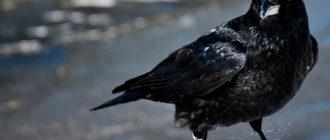 снится черная птица