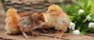 снятся цыплята маленькие много