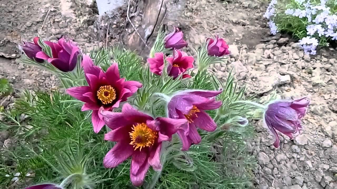 пересаживать цветы